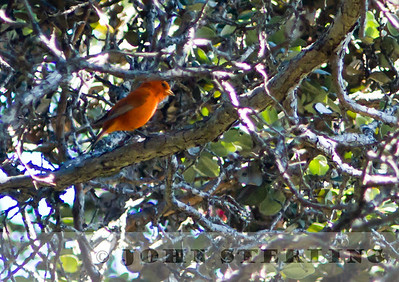 Sterling's Hawaiian Birds