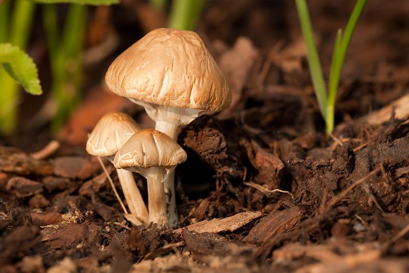 3 mushrooms in the garden.