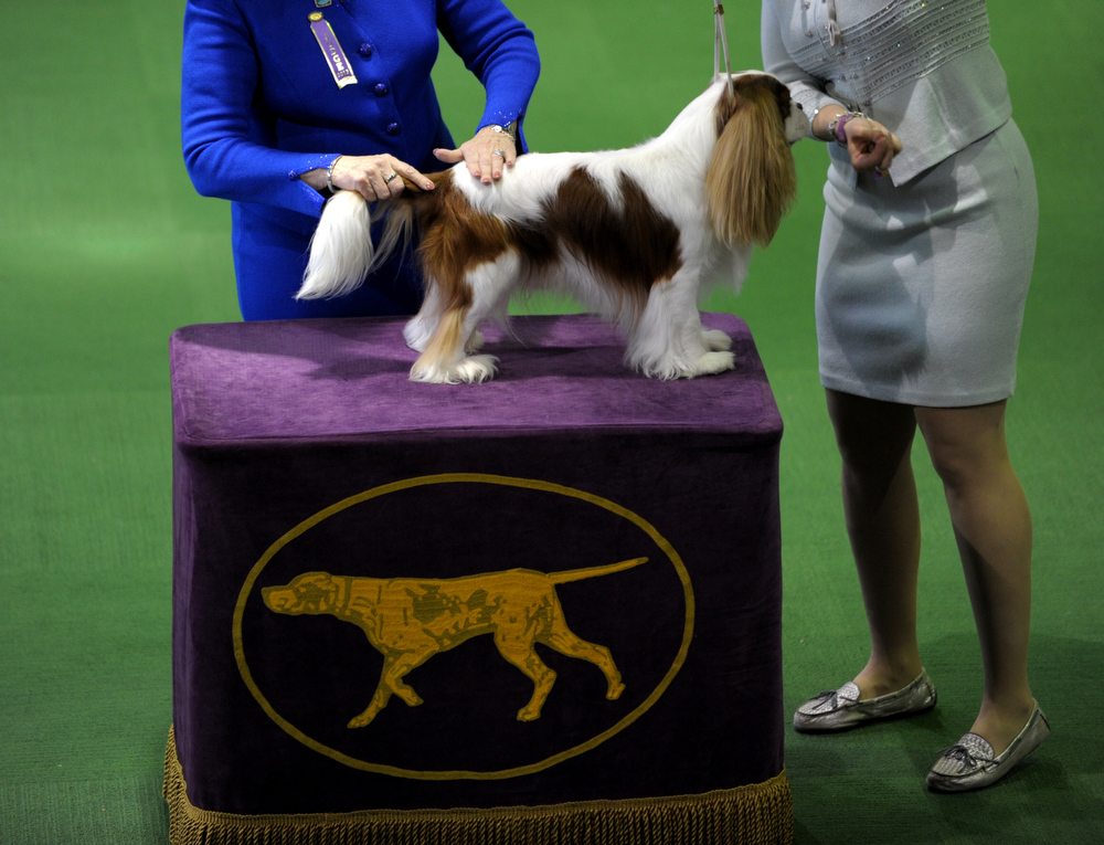 Description of . A Cavalier King Charles Spaniel is judged at the Westminster Kennel Club Dog Show February 11, 2013 in New York.  STAN HONDA/AFP/Getty Images