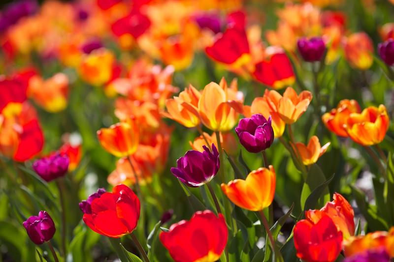 Millennium Park tulips