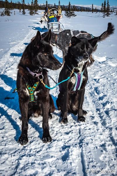 Alaska-Sled Dogs Standing By.jpg