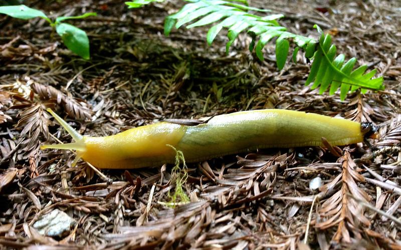 banana slug.jpg