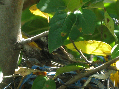 Baby Robins 2008
