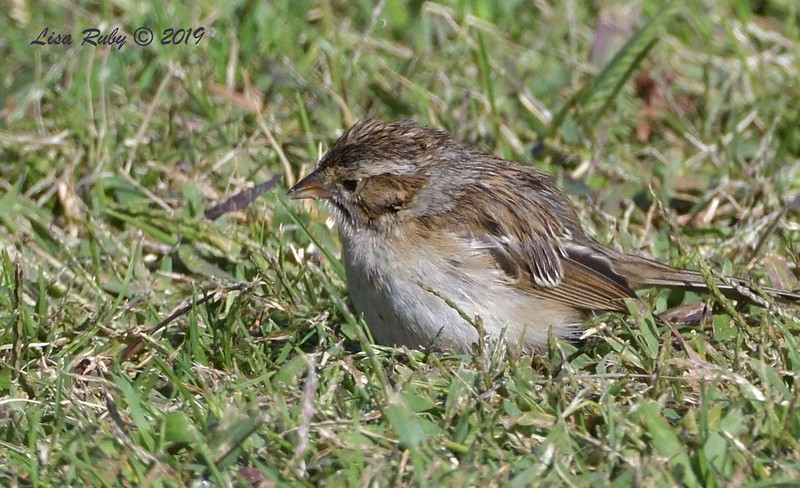 Clay-colored Sparrow  - 10/11/2019 - Crown Point