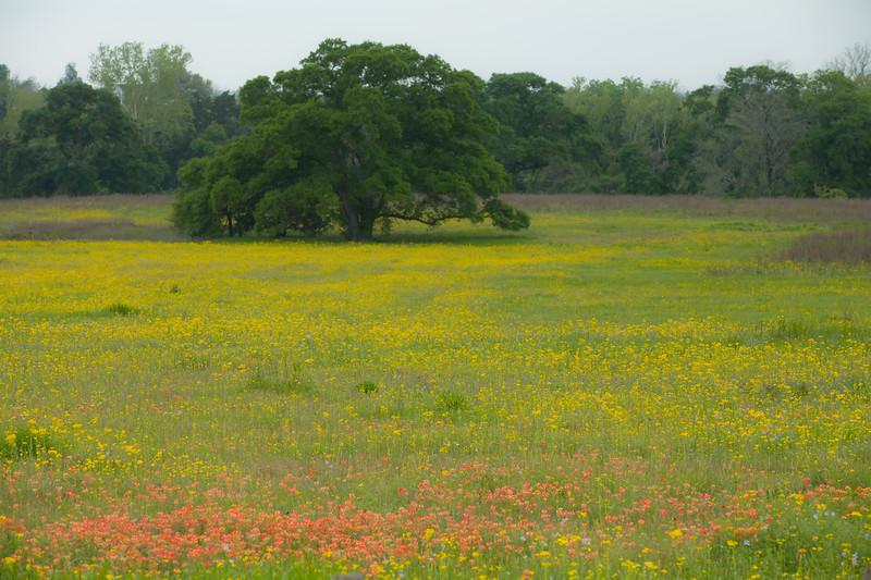 2015_4_3 Texas Wildflowers-7611.jpg