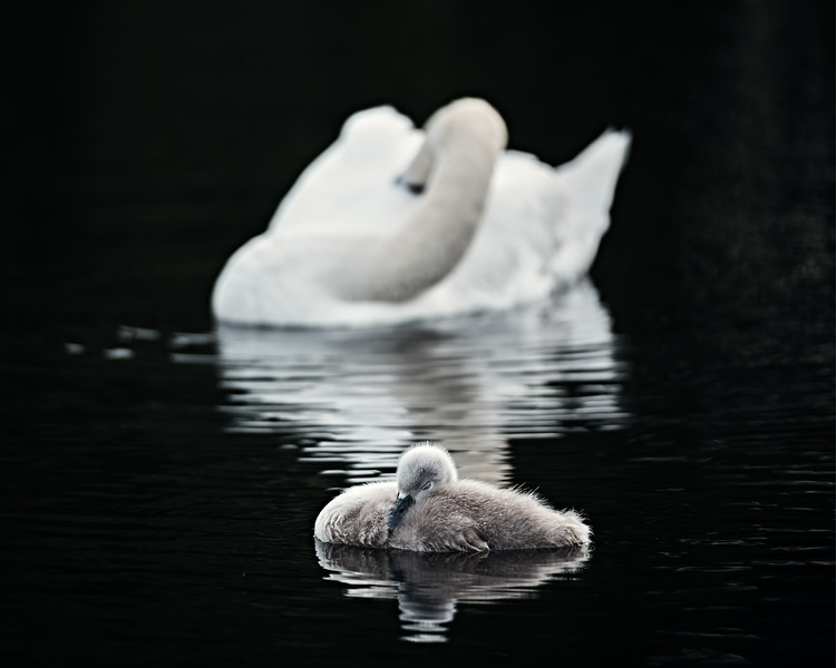 Swans_Of_Castletown009.jpg