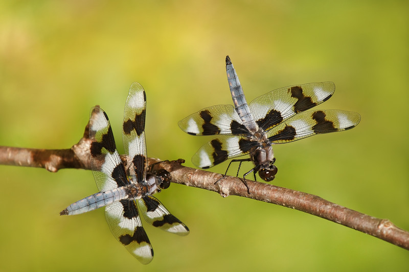 Eight-Spotted Skimmers Dancing, 1