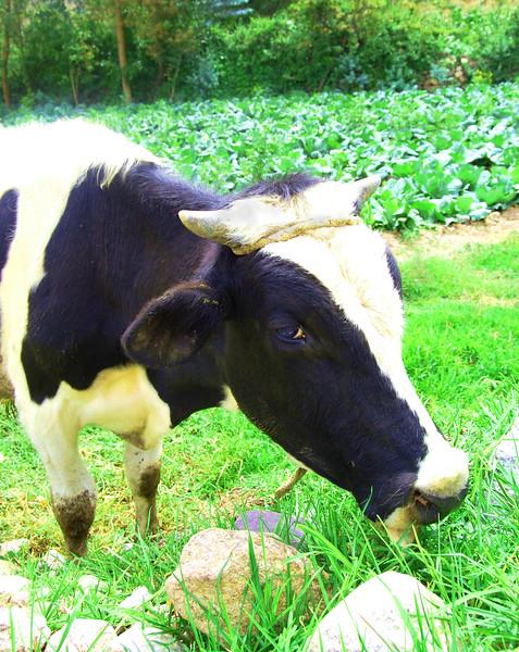 cow - edited.jpg