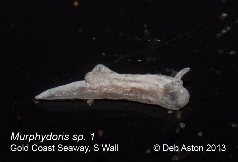 Murphydoris. sp. 1 Gold Coast Seaway