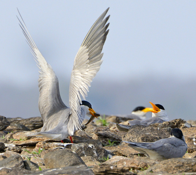 River-tern-comes-in-with-a-fish.jpg