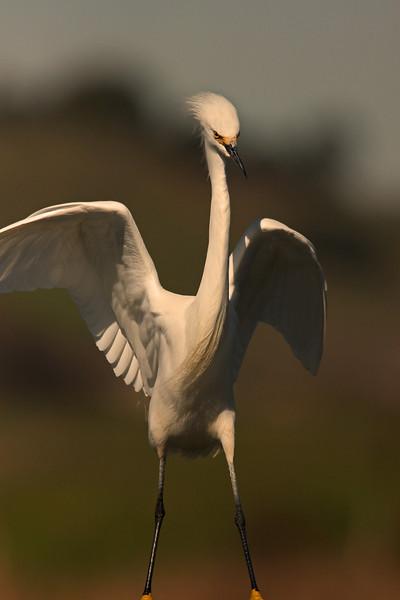 Snowy Egret (Las Gallinas)