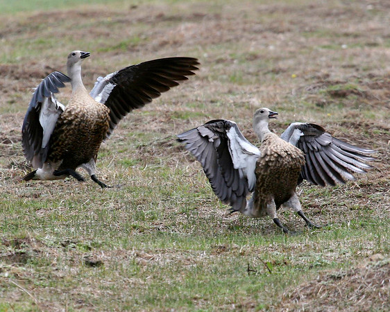 ANATIDAE Ducks, Geese and Swans