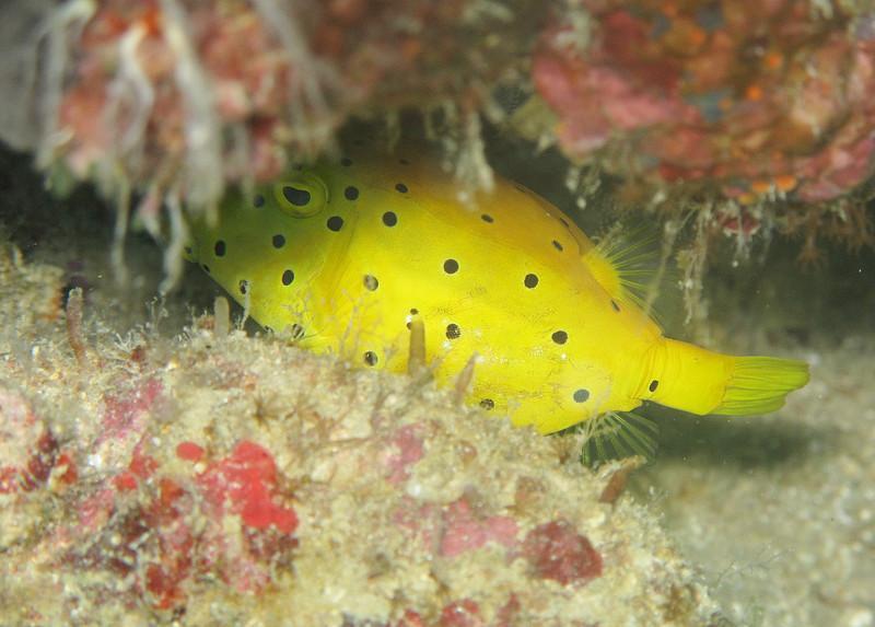 IMG_7406Ar_Yellow Boxfish (Ostracion cubicus).JPG