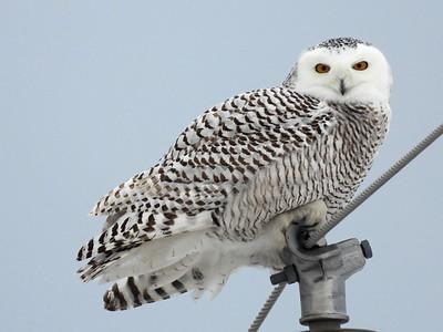 20210117 Snowy Owl