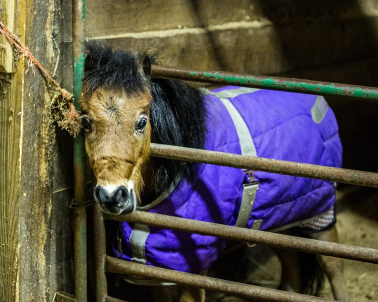 Cutest miniature horse!