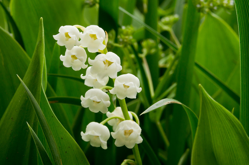 Lily of tHe Valley II