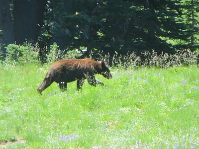 The Summerland Bear Incident