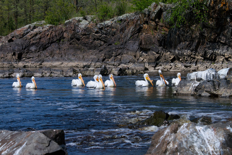 20120517-_MG_4767Minnesota_Pelicans-Edit.jpg