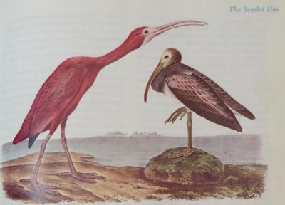 The Scarlett Ibis