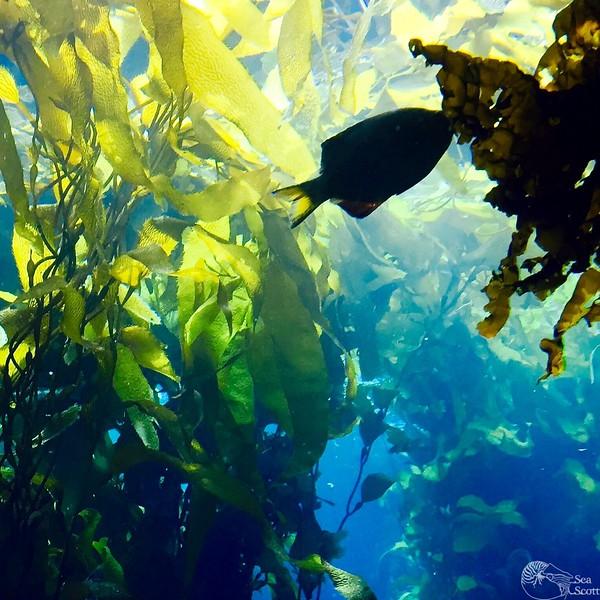 Kelp Forest Siloet