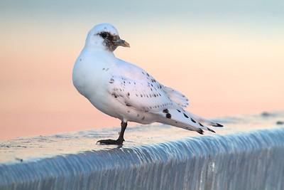 Gulls, Terns, Skimmers & Noddys