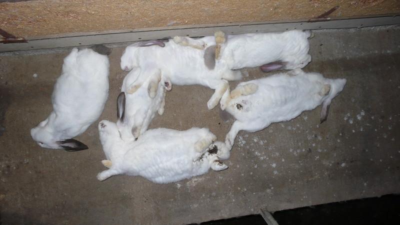 15-lapins-cadavres-elevage-France-2008-2010.jpg