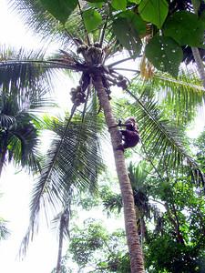 The Art of Climbing Coconut Tree