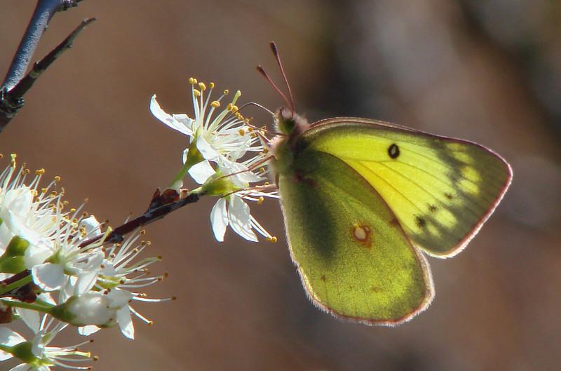 Orange Sulphur (Colias eurytheme) female.  TX: Wise Co. (LBJ Grasslands), 10 March 2007.