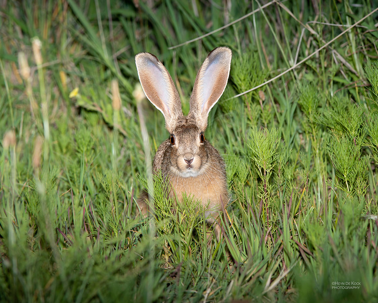 Cape Hare, Hobhouse, SA, Dec 2013.jpg