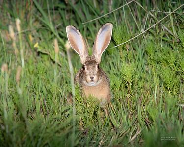 Cape Hare (Lepus capensis)