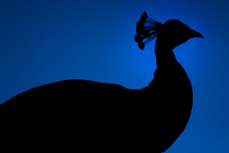 Peacock silouette.jpg
