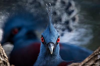 Victoria Crowned Pigeons: 2020