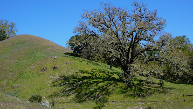 Oak Tree Shadows on Green Rolling Hills Sonoma County, California