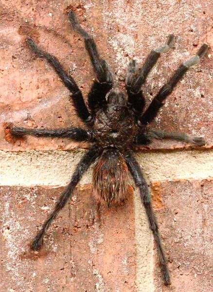 Tarantula 6-16-15 131.jpg