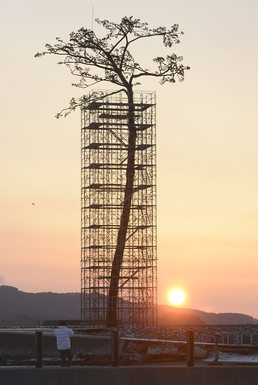 """. An artificially-restored \""""miracle pine tree,\"""" that survived the March 11, 2011 tsunami, is silhouetted against the rising sun in Rikuzentakata, Iwate prefecture, Japan, Monday, March 11, 2013. Japan marked the second anniversary of its earthquake, tsunami and nuclear catastrophe, that killed nearly 19, 000 people in areas along Japan\'s northeastern coast. The 27-meter (88-foot and 7-inch)-tall tree, a single survivor among 70,000 trees in a forest along the coast, has just been restored in a project to preserve it. (AP Photo/Kyodo News)  JAPAN OUT,  MANDATORY CREDIT, NO LICENSING IN CHINA, HONG KONG, JAPAN, SOUTH KOREA AND FRANCE"""