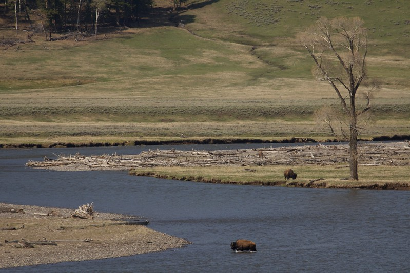 bison_crossing_river 171.jpg