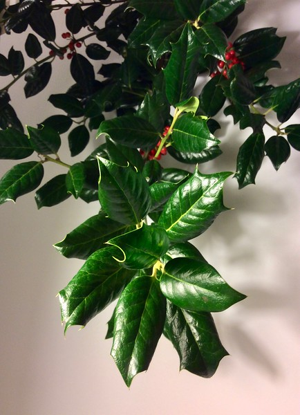 Horticulture - Holly