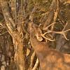 Sambar deer in a forest
