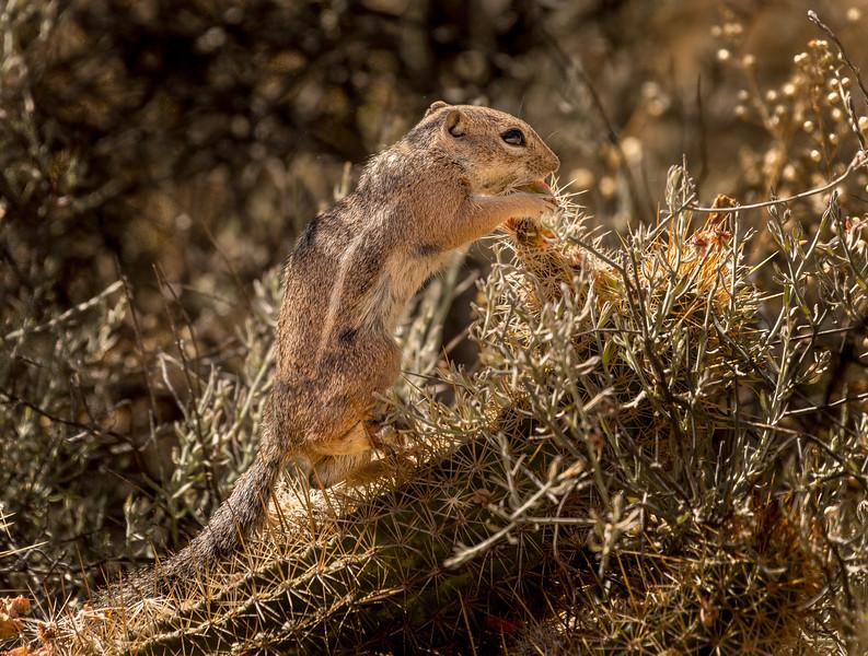 Harris Antelope Squirrel and Cholla Cactus #5
