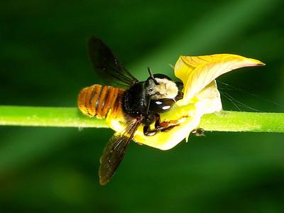 Bees - superfamily Apoidea