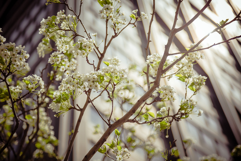 Hancock Blossoms