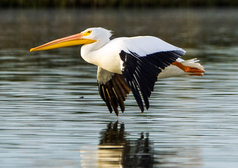 11_5_19 White Pelicans Of Fall.jpg