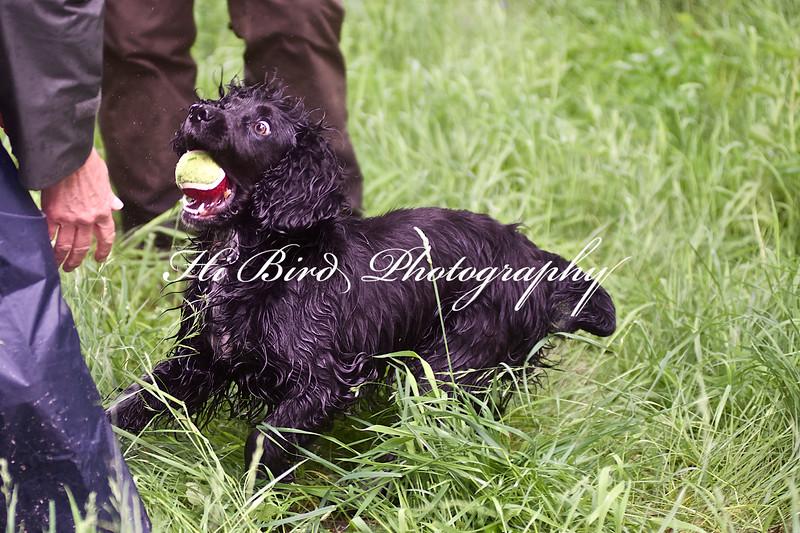 black cocker retrieve 058.jpg