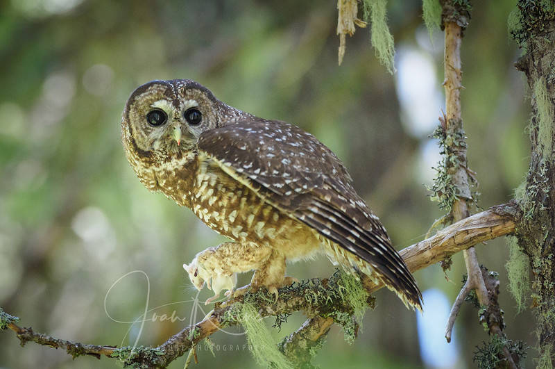 Mom poised for takeoff to deliver mouse to Owlet
