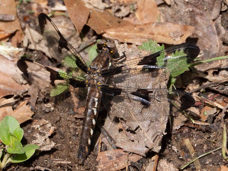 Common Whitetail (Plathemis lydia), female