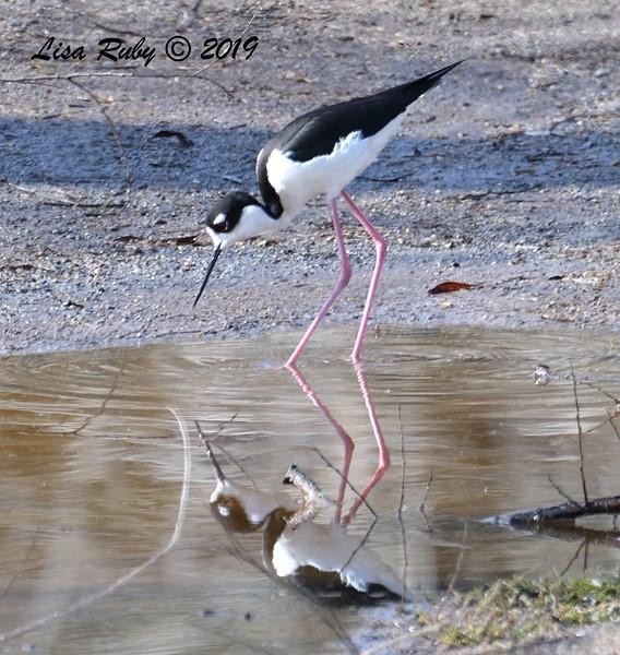 Black-necked Stilt  - 2/15/2019 - Lindo Lake