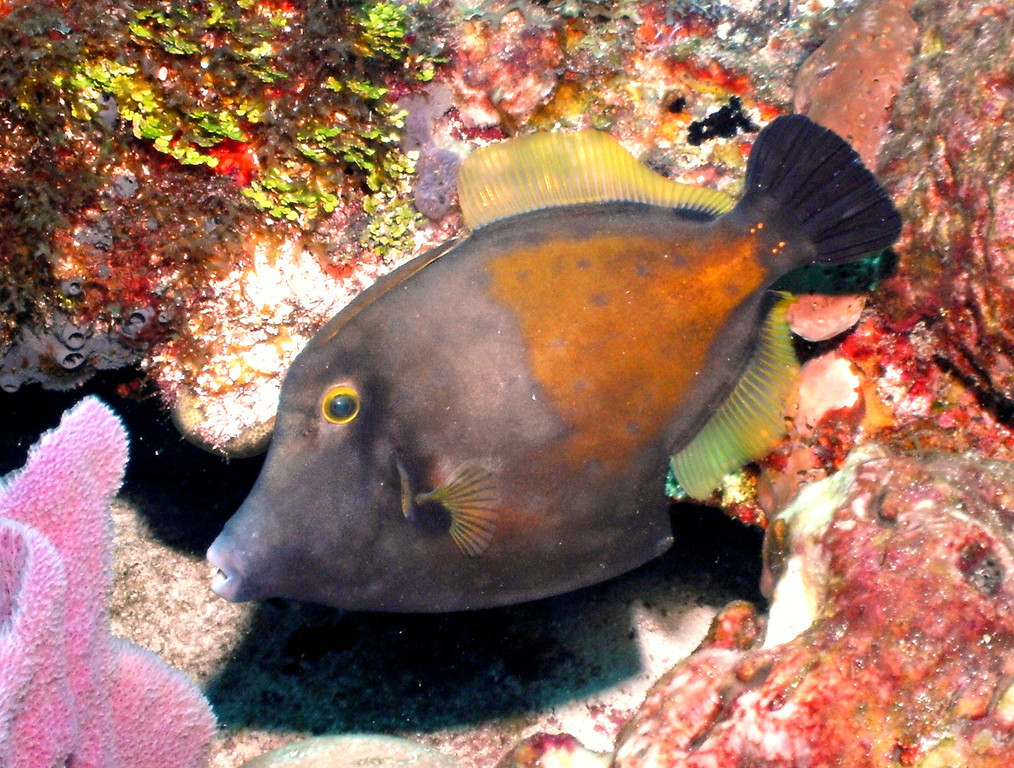 Planehead Filefish? Diving with Pepe. Cozumel Mexico.