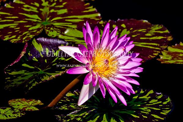 Longwood Gardens - Water Lilies - 31 Jul 2011