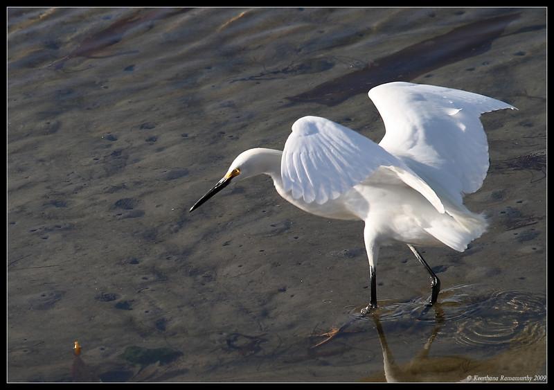 Snowy Egret, Robb Field, San Diego River, San Diego County, California, April 2009