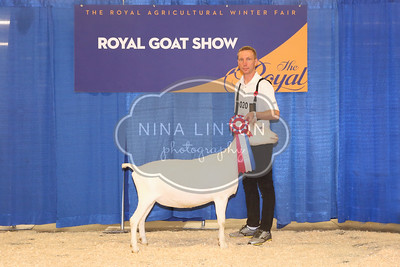 RAWF Dairy Goat Show Saanen Champions and Candids 2017